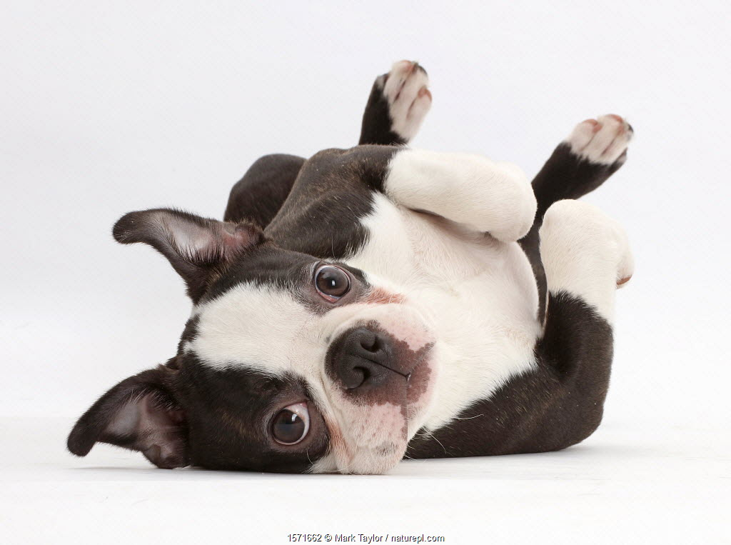 Boston Terrier, age 5 months, lying on his back.