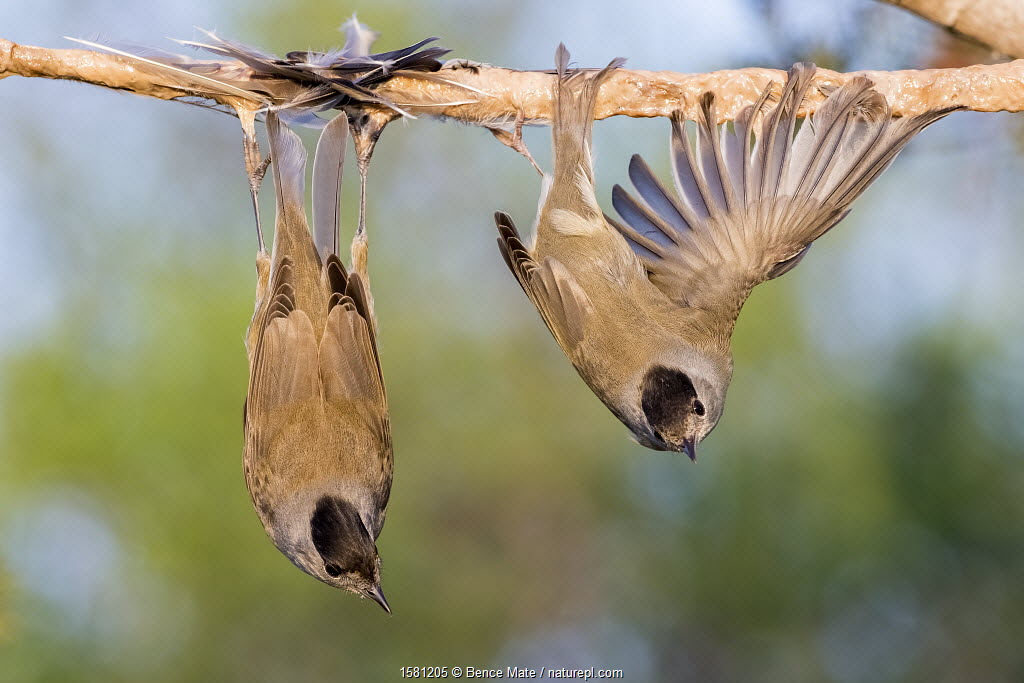 Eurasian blackcaps (Sylvia atricapilla) caught on limed stick, Cyprus. Finalist in The Wildlife Photojournalist Award: Single Image Category of the Wildlife Photographer of the Year Awards (WPOY) Competition 2017.