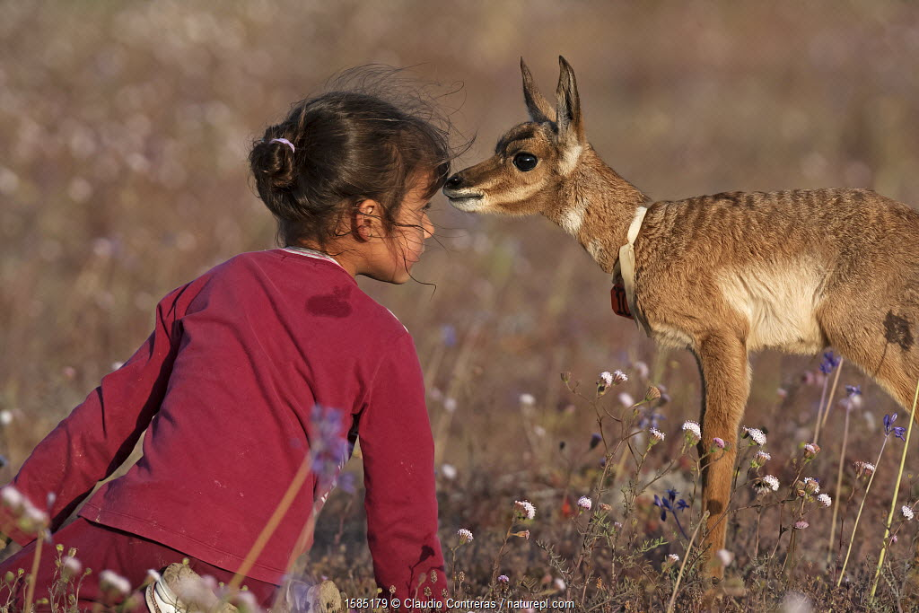 Young girl face to face with Peninsular Pronghorn Antelope (Antilocapra americana peninsularis) fawn at Peninsular Pronghorn recovery project, El Vizcaino Desert Biosphere Reserve, Baja California Peninsula, Mexico, March, First prize in the 'Passion for Conservation' National Contest organised by Mexico's National Comission of Natural Protected Areas (CONANP) Model released