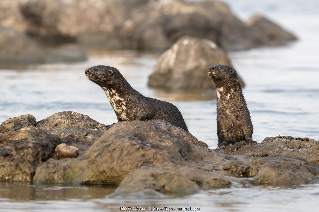 Spotted necked otters (Hydrictis maculicollis), Chobe River, Botswana, September.
