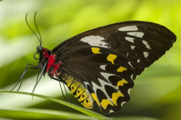 A female Cairns birdwing butterfly (Ornithoptera euphorion), Kuranda Butterfly Sanctuary, Queensland, Australia. Captive.