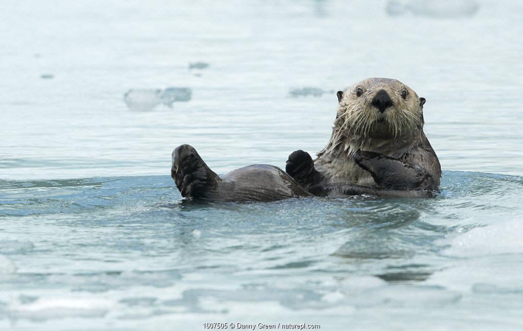 Sea otter (Enhydra lutris) resting on sea ice, Alaska, USA, June