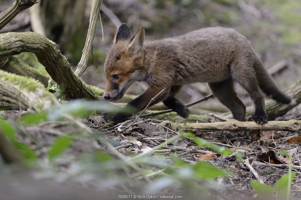 Red fox (Vulpes vulpes) cub exploring woodland. Near Bath, England, UK. May.