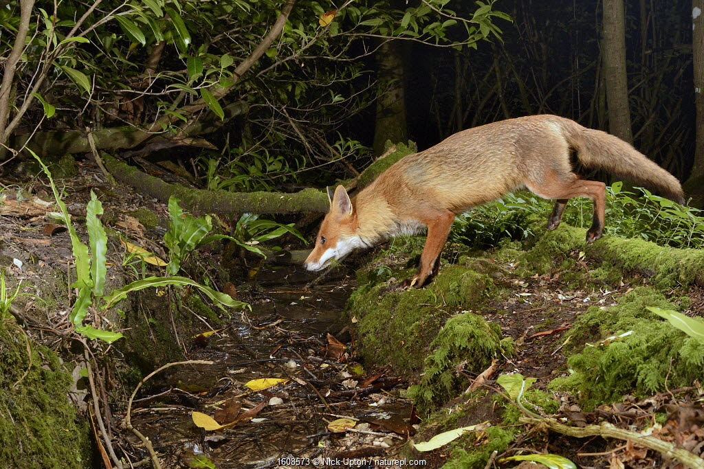 Red fox (Vulpes vulpes) visiting woodland stream to drink at night. Camera trap image. Near Bath, England, UK. June.