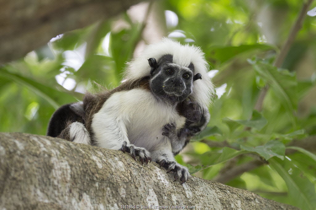 Cotton-top tamarin (Saguinus oedipus), adult with two week old baby on back. Northern Colombia.