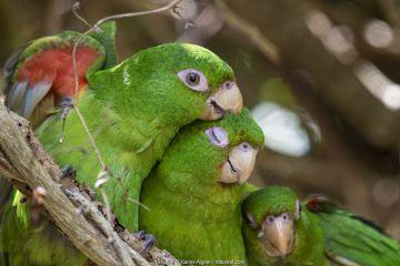 Cuban Parakeet (Psittacara euops) preening each other, Cuba. Endemic.