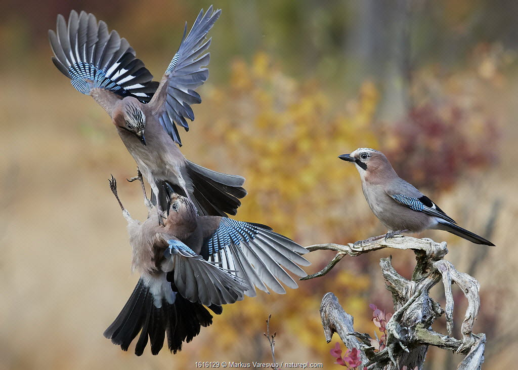Jay (Garrulus glandarius), two fighting in mid-air with another observing. Norway. October.