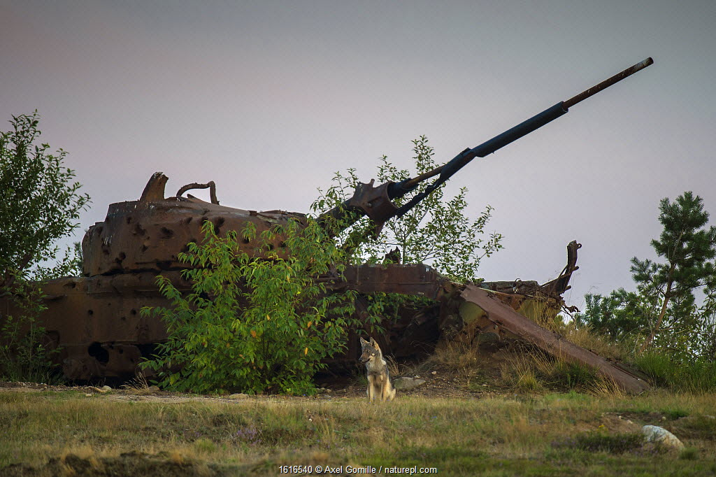 Wolf (Canis lupus), sitting in front of wrecked tank, military training area, Saxony-Anhalt, Germany