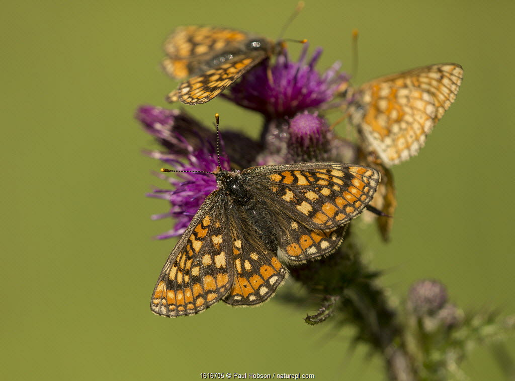 Marsh fritillary (Euphydryas aurinia), group feeding on Marsh thistle (Cirsium palustre). Lincolnshire, England, UK.