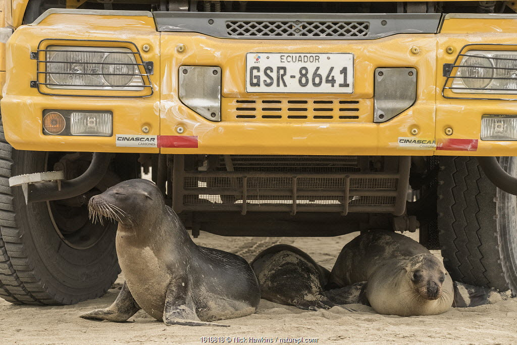 Galapagos sea lion (Zalophus wollebaeki), three resting underneath school bus. Isabela Island, Galapagos. 2017.
