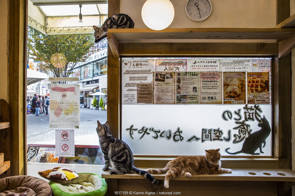Cats sitting in window at Kawaramati Cat Cafe, Kyoto, Japan
