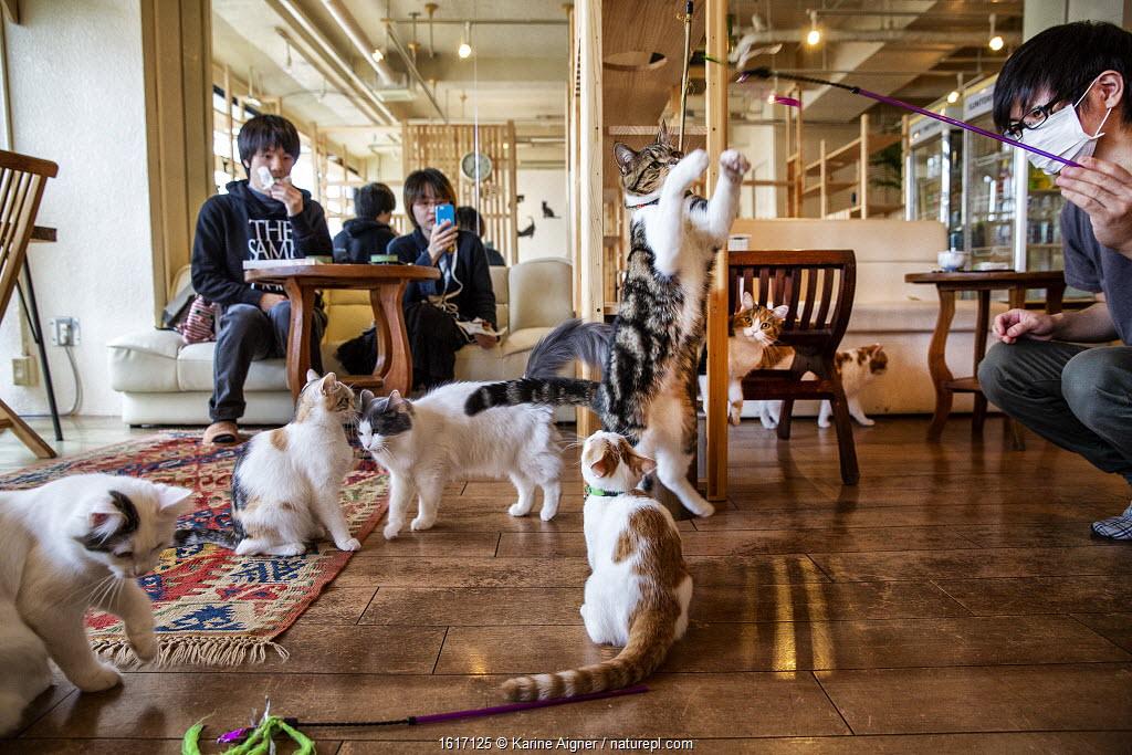 Japanese man playing with cats at the Kawaramati Cat Cafe Kyoto, Japan.