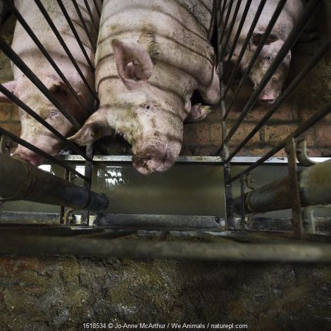 Pigs, pregnant sows, kept in narrow gestational crates, Italy, September 2015