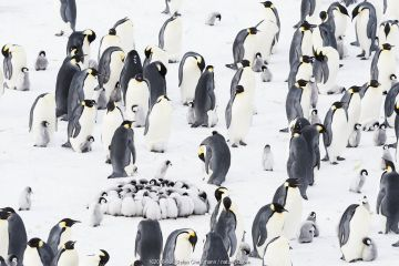 Emperor penguin (Aptenodytes forsteri) colony with with creche of huddling chicks, Atka Bay, Queen Maud Land, Antarctica. October.