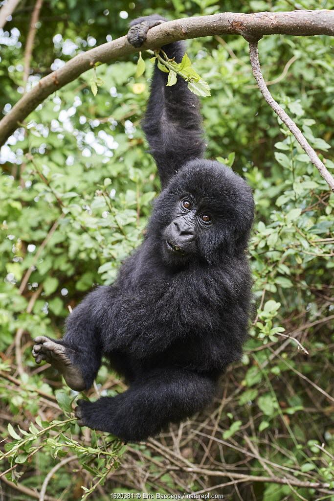 Mountain gorilla (Gorilla beringei) juvenile aged 2 years, hanging from branch, member of the Nyakagezi group, Mgahinga National Park, Uganda. January.
