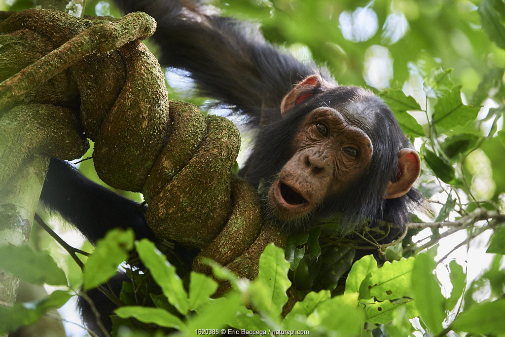 Chimpanzee juvenile (Pan troglodytes schweinfurthii) in a tree. Kibale National Park, Uganda. January.