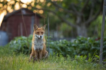 Red Fox (Vulpes Vulpes) in allotment, North London, England UK