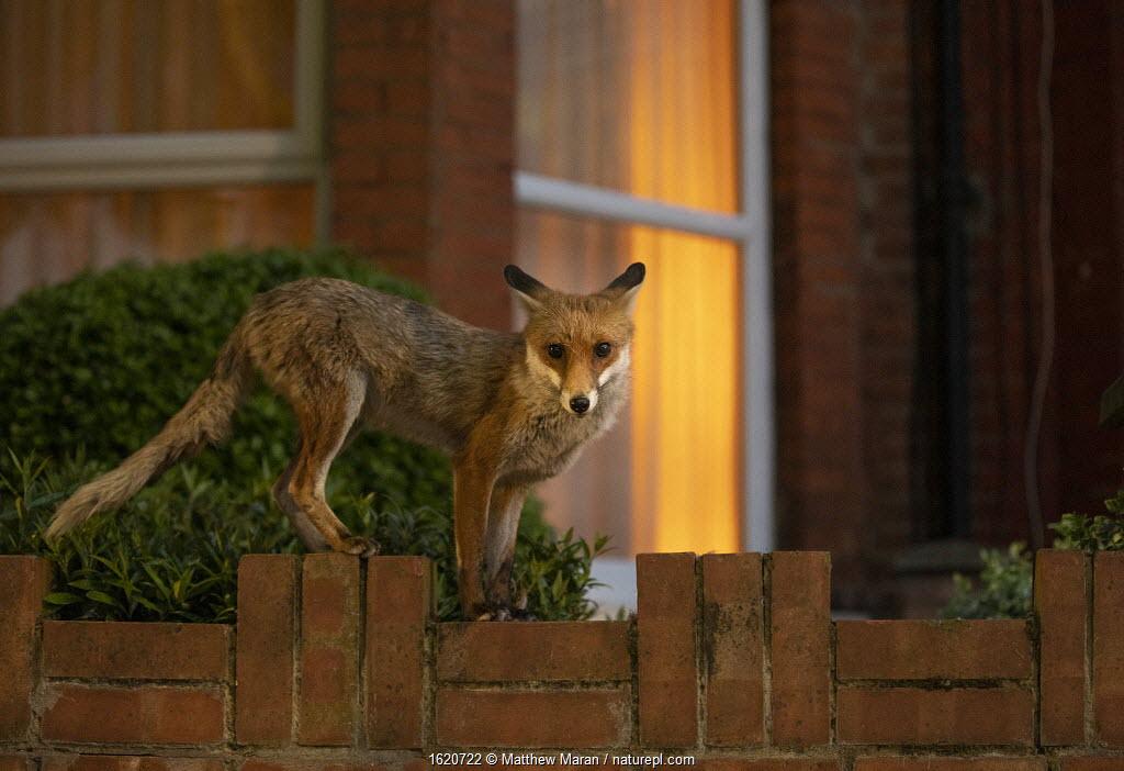 Red Fox (Vulpes Vulpes) on garden wall, North London, England UK