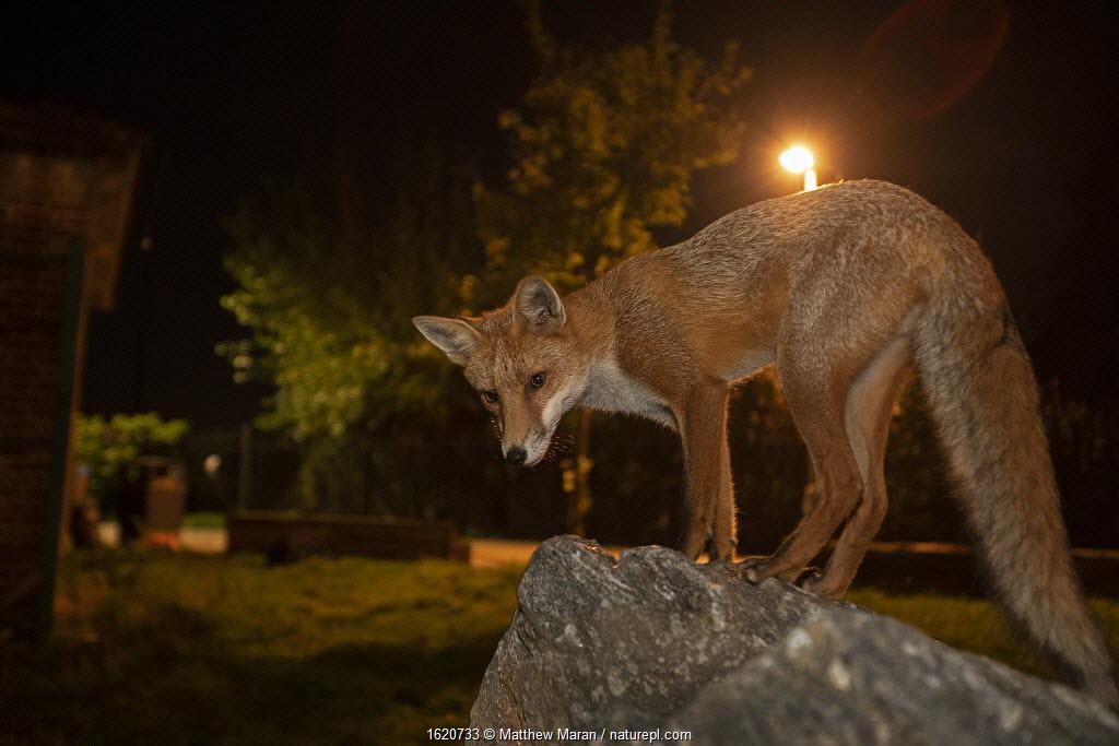 Red Fox (Vulpes Vulpes) at night, North London, England UK.