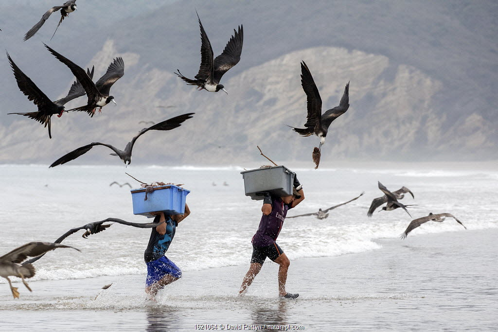 Magnificent Frigatebirds (Fregata magnificens) trying to steal fish from fishermen coming on land with a fresh catch, Puerto Lopez , Santa Elena Peninsula, Manabi Province, Ecuador, July