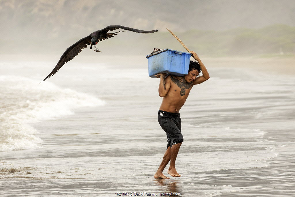 Magnificent Frigatebirds (Fregata magnificens) trying to steal fish from a fisherman coming on land with a fresh catch, Puerto Lopez , Santa Elena Peninsula, Manabi Province, Ecuador, July