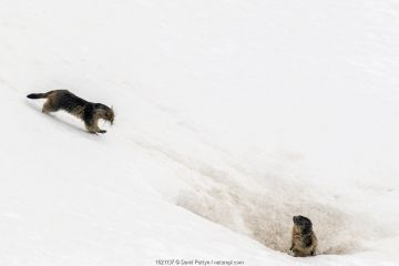 Alpine marmot (Marmota marmota) carrying grass and other nesting material across snow to its nest while another one is on the lookout, Gran Paradiso National Park, Aosta Valley, Italy, April