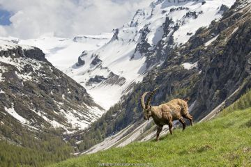 Alpine Ibex (Capra ibex) in its landscape, Valsavarenche, Gran Paradiso national park, Aosta Valley, Italy, May