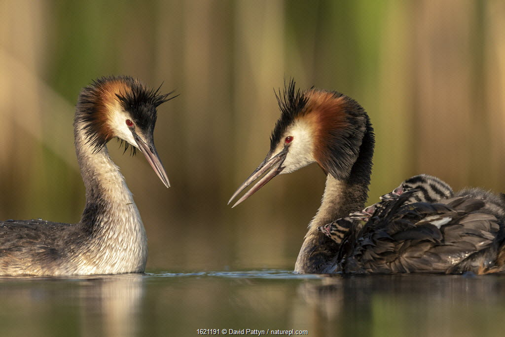 Great crested grebe (Podiceps cristatus) adults courting and greeting each other to confirm their bond. Even with the young chicks already out they often show courtship behavior to each other, Valkenhorst Nature Reserve, Valkenswaard, The Netherlands, June