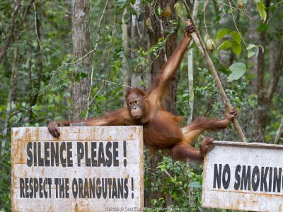 Bornean Orangutan (Pongo pygmaeus) next to signs which say 'Silence please. Respect the orangutangs' and 'No Smoking' Tanjung Puting National Park, Borneo, Indonesia.