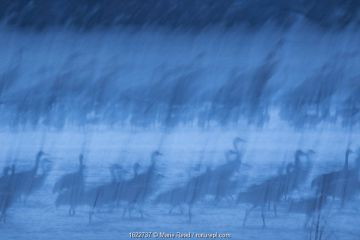 Sandhill Cranes at roost during spring migration in March, Rowe Sanctuary, Kearney, Nebraska, USA. March. Long exposure.