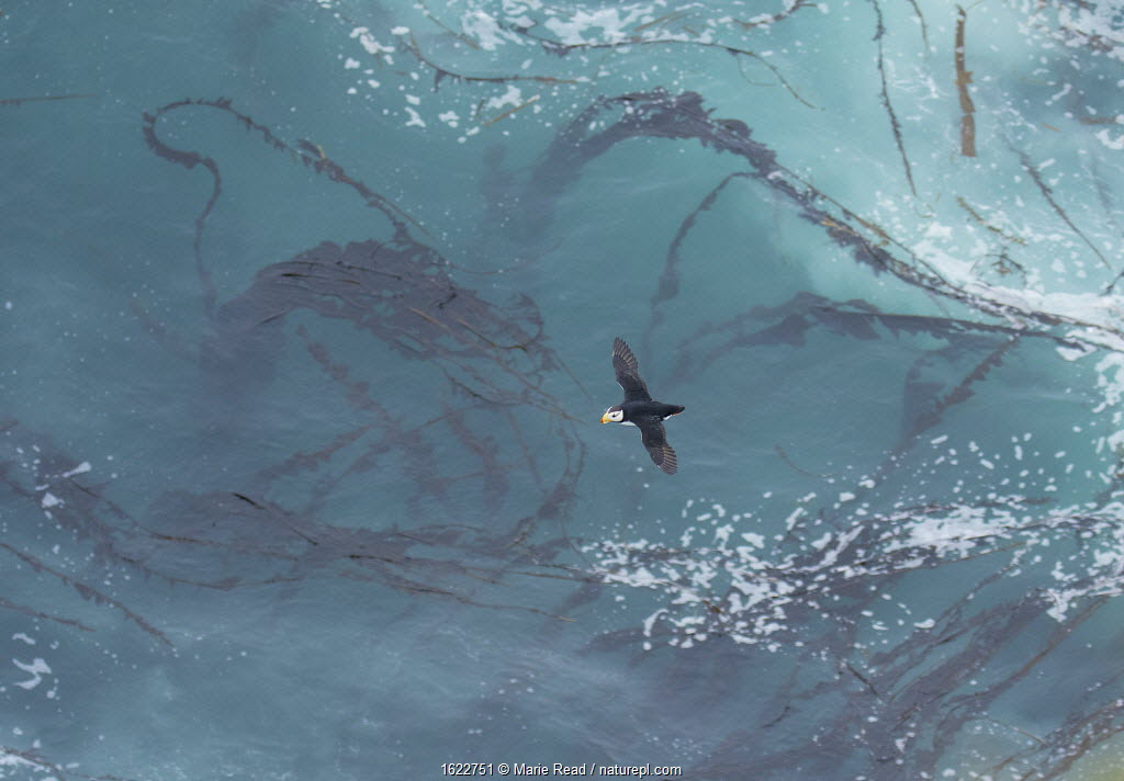 Horned Puffin flying over a pattern of kelp and sea foam, St. Paul, Pribilof Islands, Alaska, USA. July.