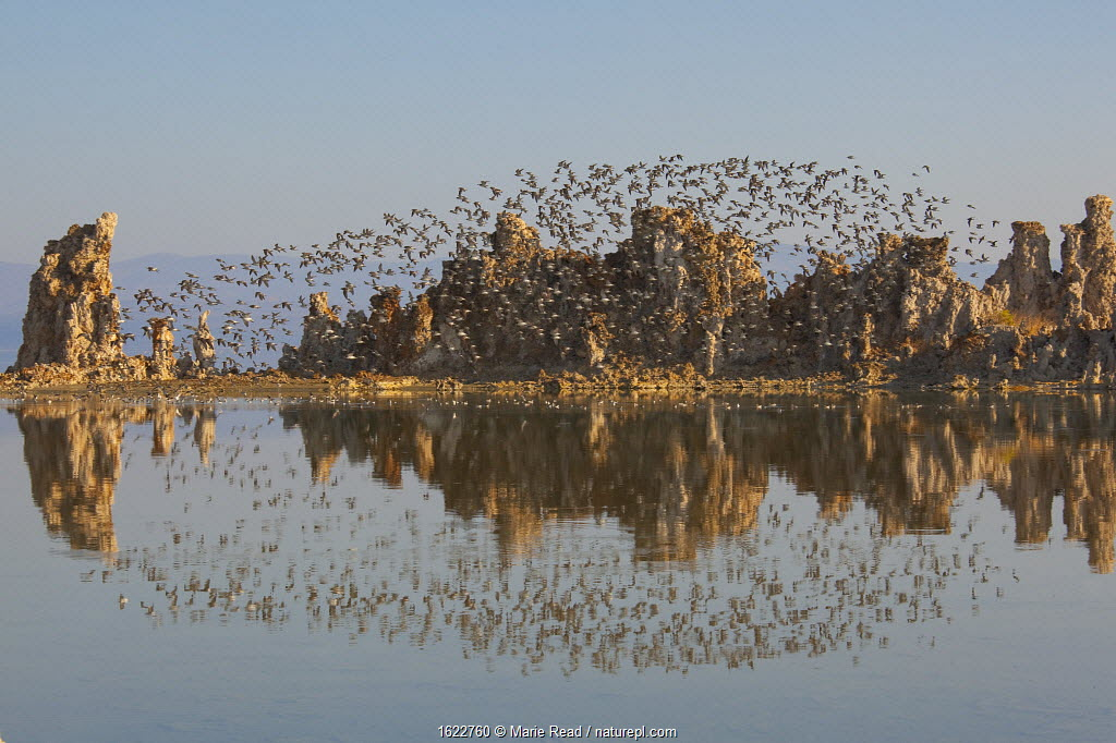Wilson's Phalaropes flying over tufa formations at Mono Lake in late summer, with reflection, California, USA