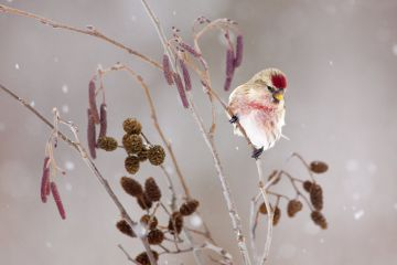 Common redpoll male perched in alder during a snowstorm in winter, New York, USA, January.
