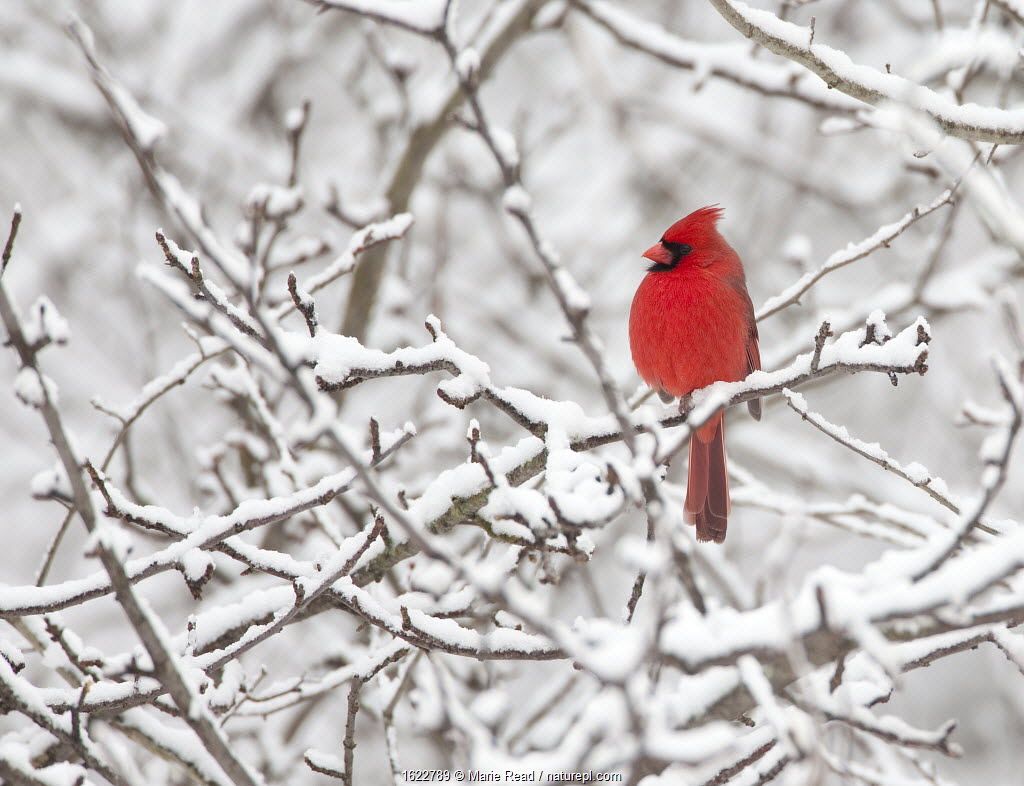 Northern cardinal male perched amid snow-covered branches, New York, USA, February.