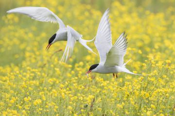 Arctic terns flying over nesting colony in field of buttercups, Keflavik, Iceland.