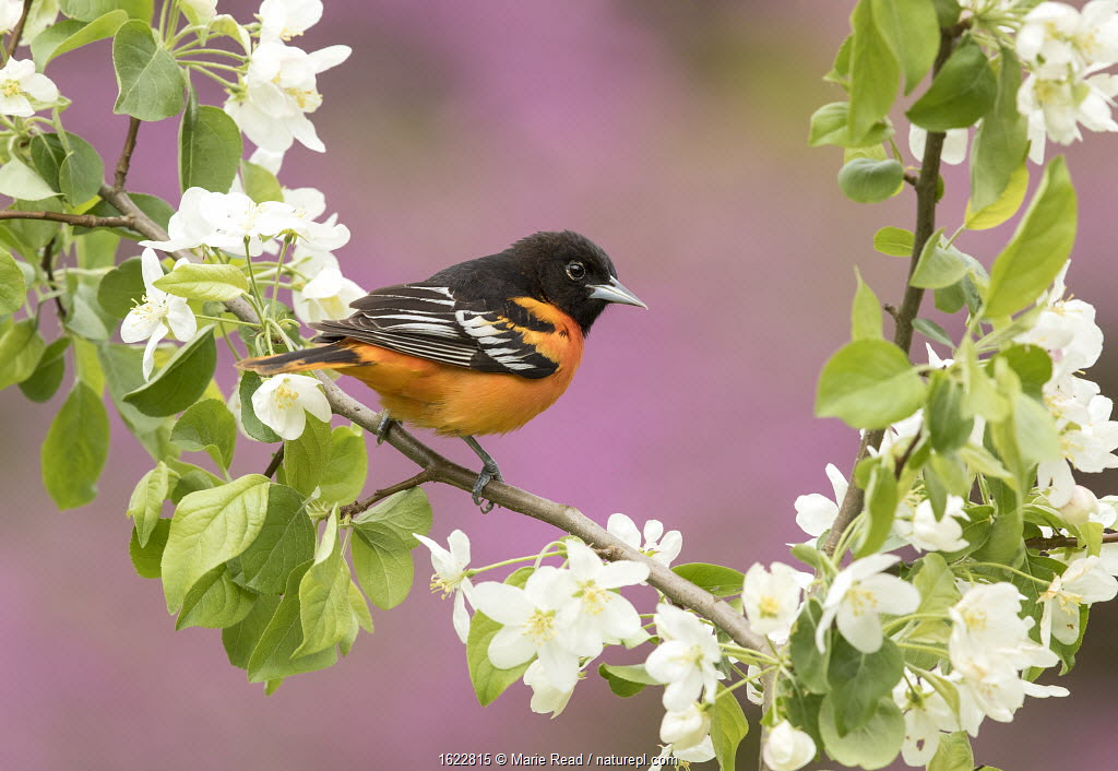 Baltimore oriole male perched in pear blossom, New York, USA. May.