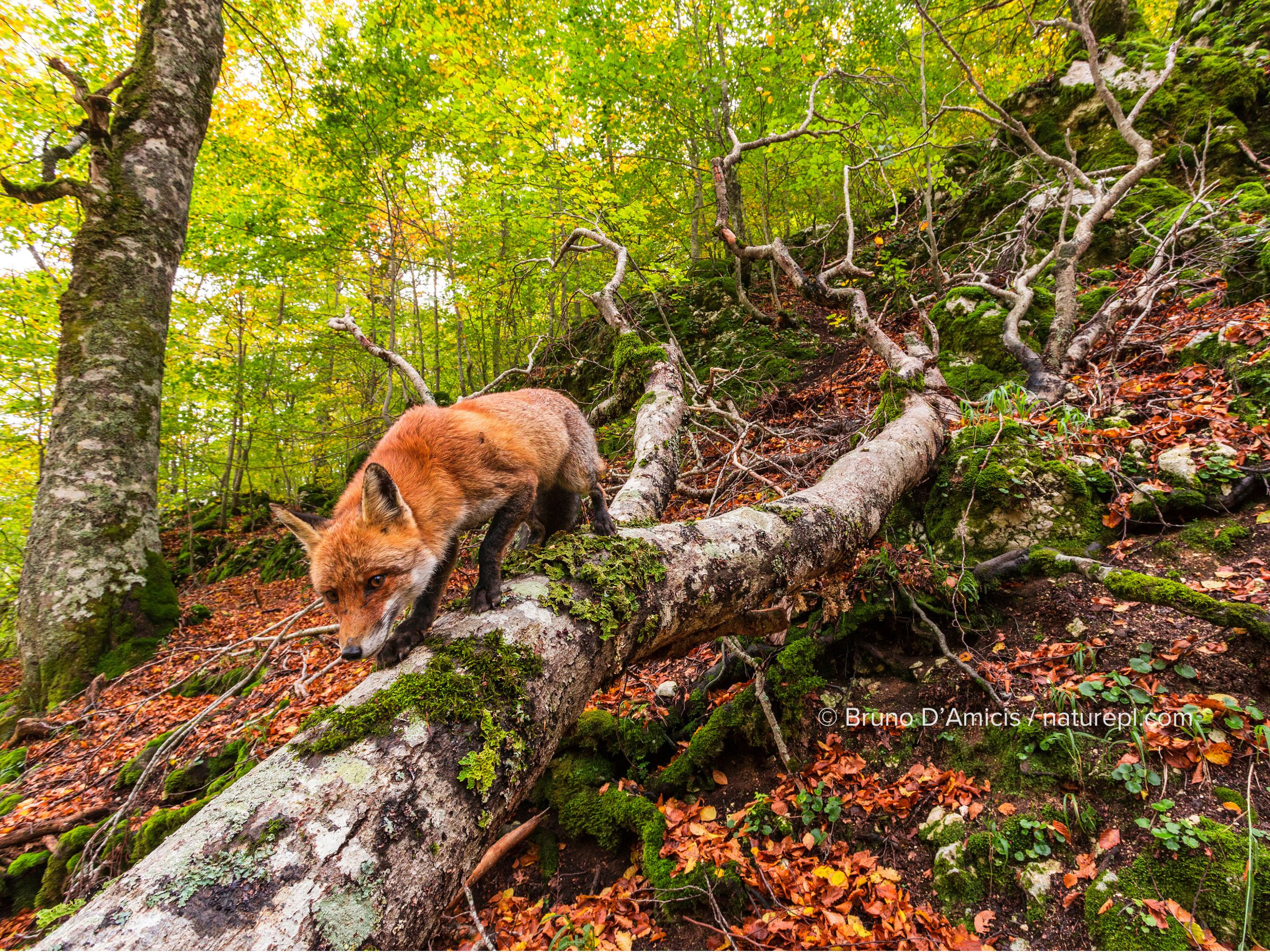 Red fox (Vulpes vulpes) walking along fallen trunk of old Beech (Fagus sylvatica) tree, Coppo del Principe old-growth beech forest in autumn. Abruzzo, Lazio and Molise National Park / Parco Nazionale d'Abruzzo, Lazio e Molise UNESCO World Heritage Site Italy. October. Remote camera trap image.