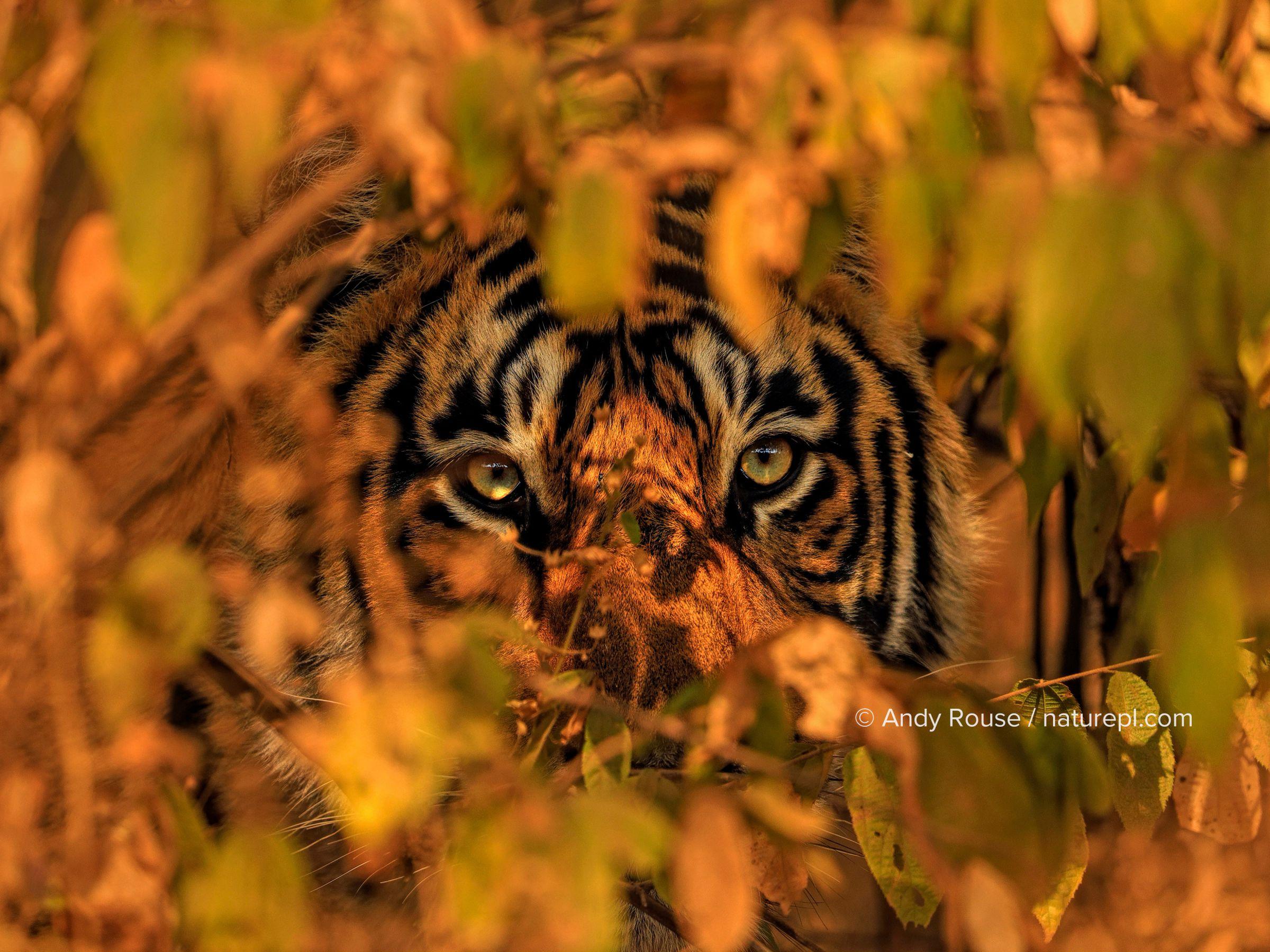 Bengal tiger (Panthera tigris) peering through leaves of bushes, Ranthambhore, India. December