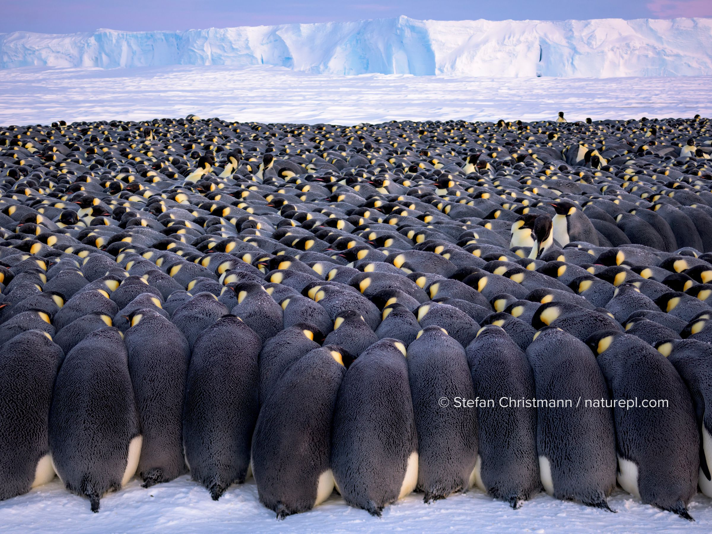 Emperor penguin (Aptenodytes forsteri) breeding colony, males huddling on sea ice during polar night, incubating eggs, ice shelf in background. Atka Bay, Antarctica. July 2017.