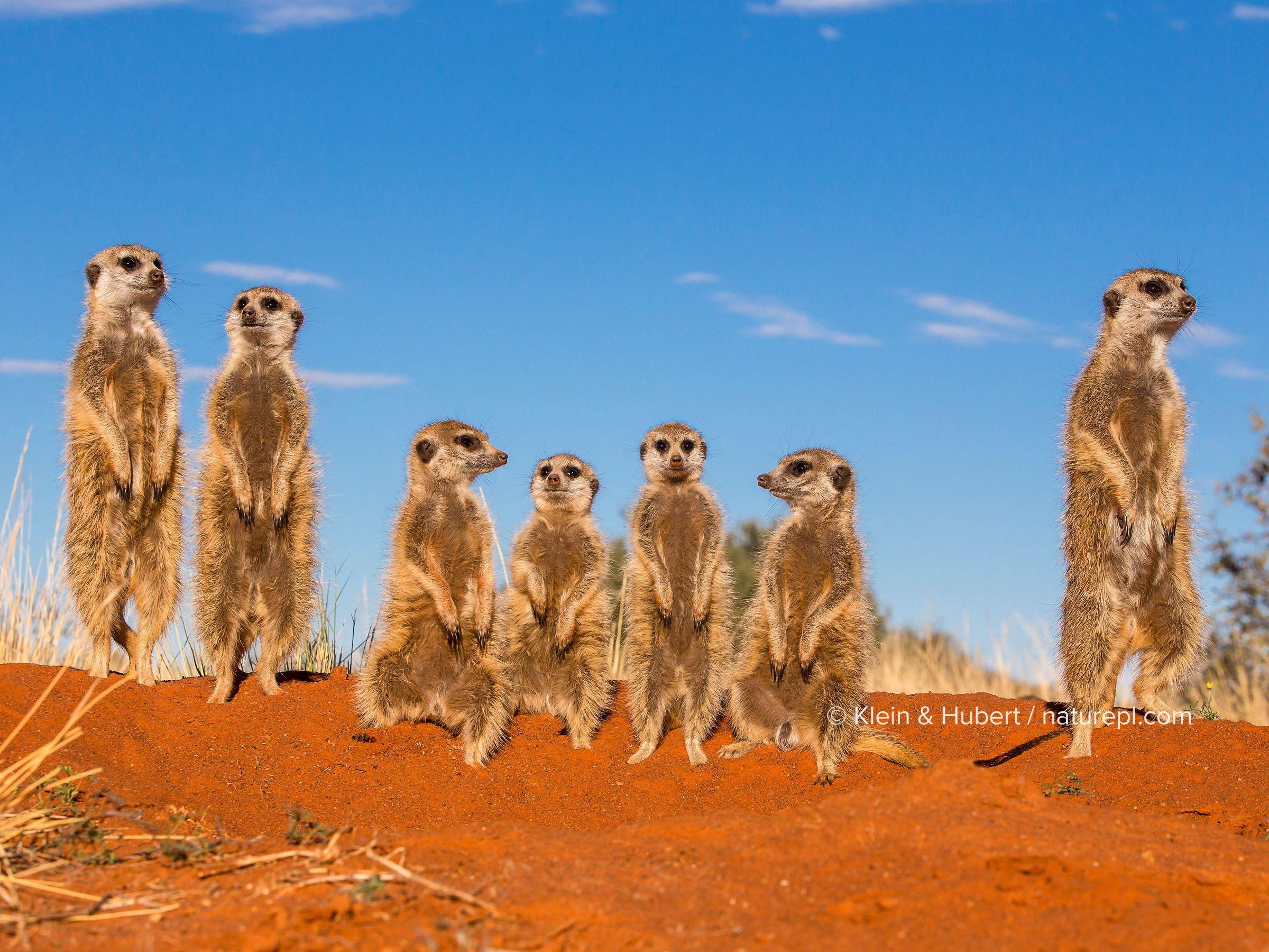 Meerkats (Suricata suricatta) standing on the burrow, warming up while facing the sun, Kalahari Desert, South Africa.