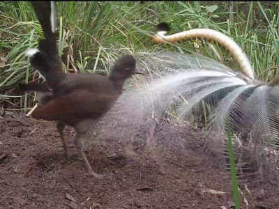 Cameratrap video of a male Superb lyrebird (Menura novaehollandiae) courting female on display mound, Australia, July.