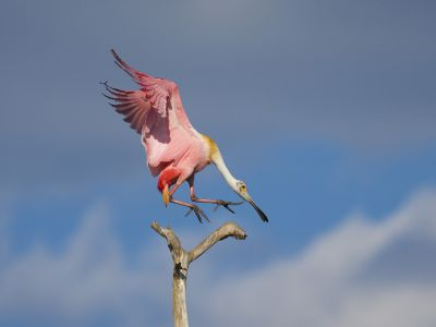 Roseate spoonbill (Ajaia ajaja), adult in breeding plumage flying in to land on a perch, Orlando, Florida, USA, March.