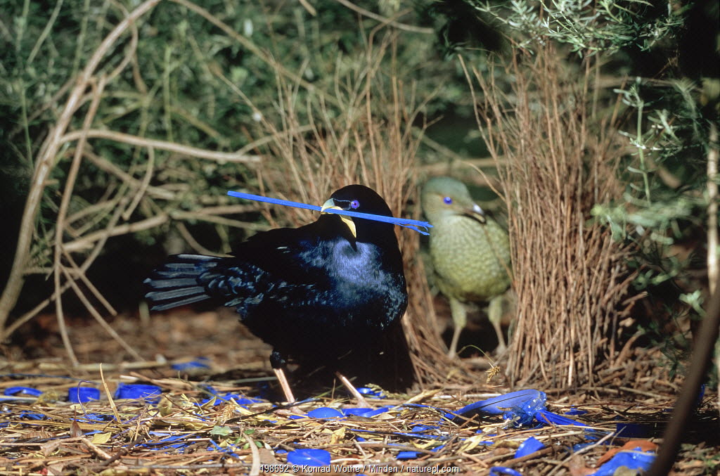 Satin bowerbird (Ptilonorhynchus violaceus) male arranging blue ornaments to impress female in bower, Victoria, Australia