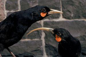 Huia - Stuffed birds. Extinct species. Otago museum exhibit, New Zealand