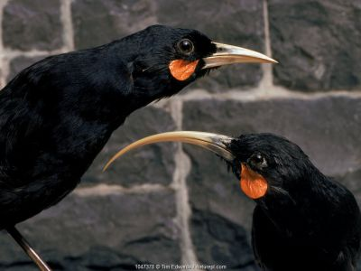 Huia - Stuffed birds. Extinct species. Otago museum exhibit, New Zealand