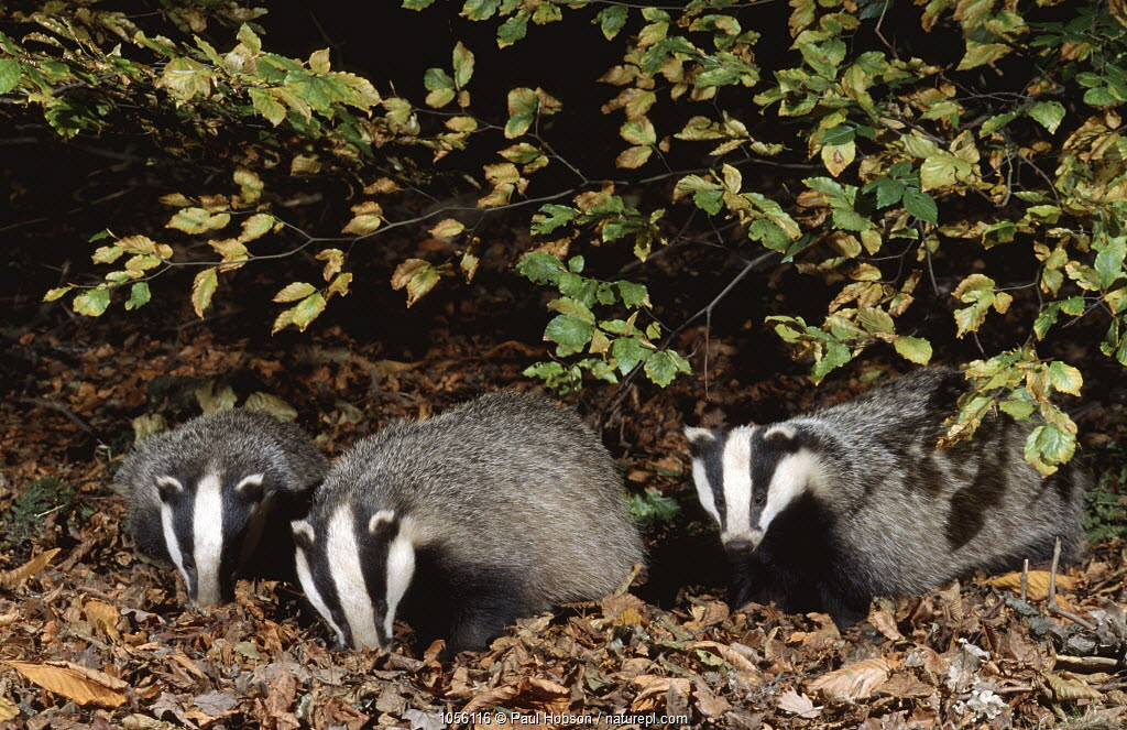 Three 10 month old Badgers (Meles meles) browsing in leaf litter at night, Derbyshire, UK