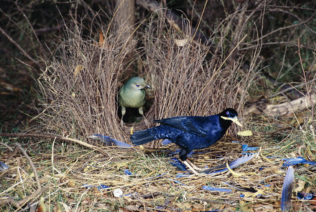 Pair of satin bowerbirds {Ptilonorhynchus violaceus} at bower East Australia. Female in bower, male displaying to her using blue ornaments. Satin Bowerbirds collect blue and yellow ornaments and the male in this picture is holding a yellow object in its bill.