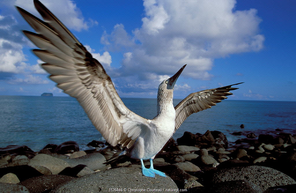 Blue footed booby displaying {Sula nebouxii} Galapagos.