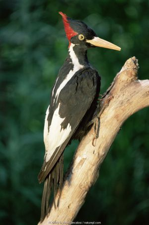 Stuffed specimen of Ivory billed woodpecker {Campephilus principalis} USA Louisiana - believed extinct until sighting in 2005