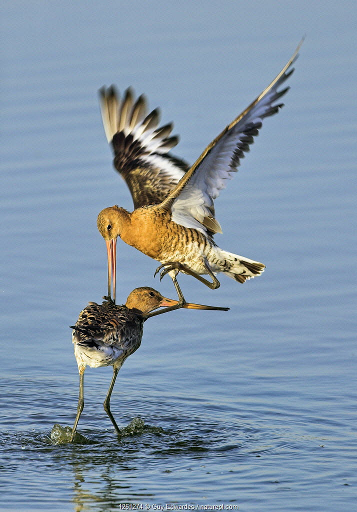 Black-tailed godwits (Limosa limosa) fighting, Lodmoor RSPB reserve, Weymouth, Dorset, England, August